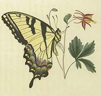 Eastern Tiger Swallowtail (Papilio glaucus). Detail • Hand-colored engraving with etching after Titian Ramsey Peale. • In: Thomas Say, American Entomology,  • or descriptions of the insects of North America • Vol. 3 of 3 (1824-28).  • Rare Books Division • The New York Public Library • Photo courtesy of The New York Public Library