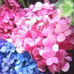 Hydrangea Endless SummerPhoto courtesy of Royal Horticultural Society